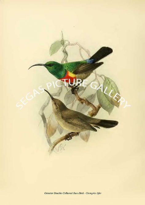 Fine art print of the Greater Double-Collared Sun-Bird - Cinnyris Afer by the artist Johannes Gerardus Keulemans (1876-1880)